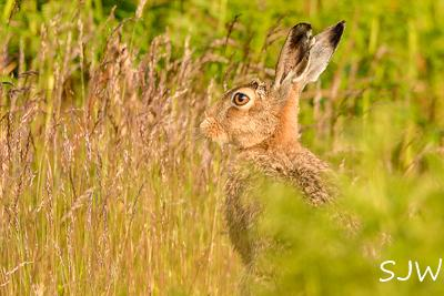 Hare. Photo by Steve Westerman