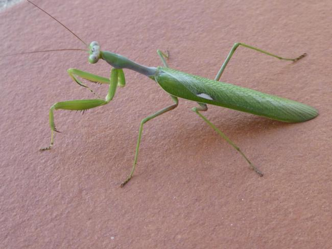A praying mantis