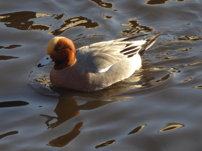 A male wigeon enjoying the water
