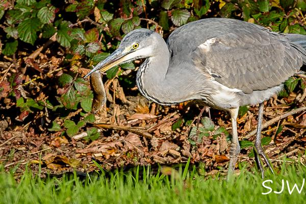 Heron with vole by Steve Westerman