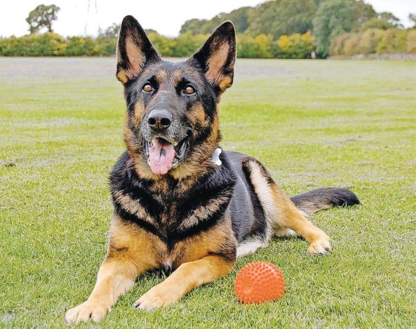 German shepherd rescue charity hosts Guiseley awareness events