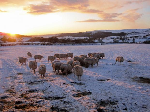 This picture of pure bred sheep in the Washburn Valley is part of an exhibition centred around the life of sheep in the area which opens at Washburn Heritage Centre this weekend