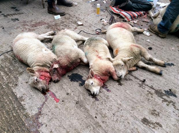 "Four of the five lambs that were killed in the attack, which left the survivors ""frightened to death"""