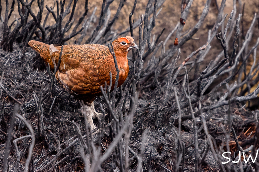 A grouse in the ashes